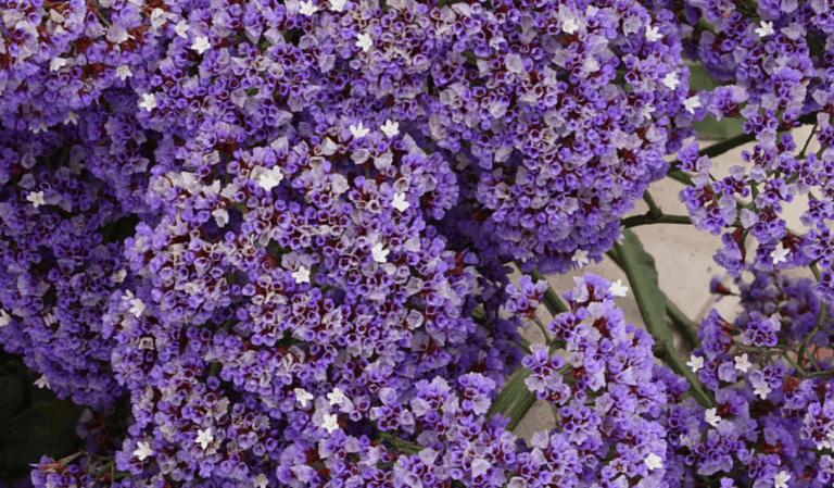 Vacances Vénétie: la floraison du limonium