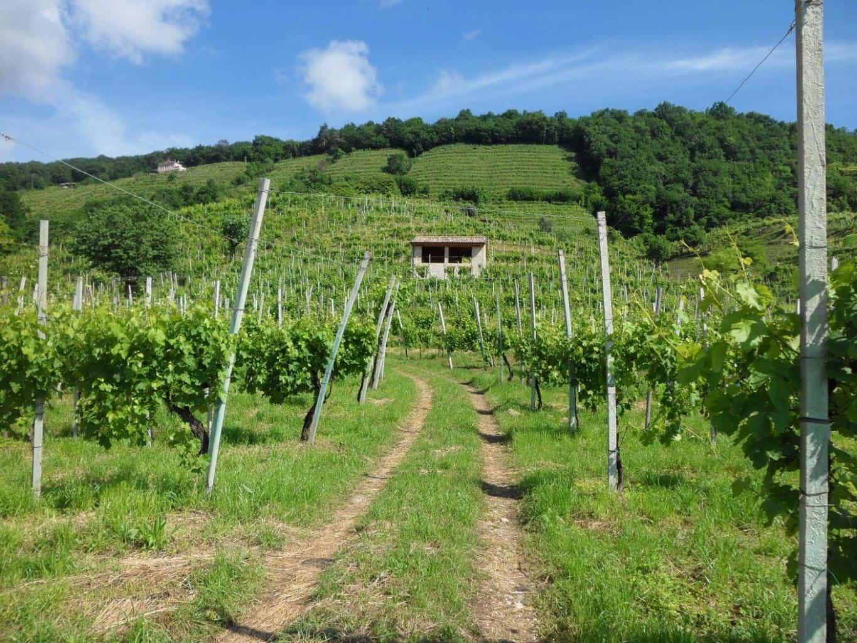 Visiter Trevise: vignoble dans la région de Trévise